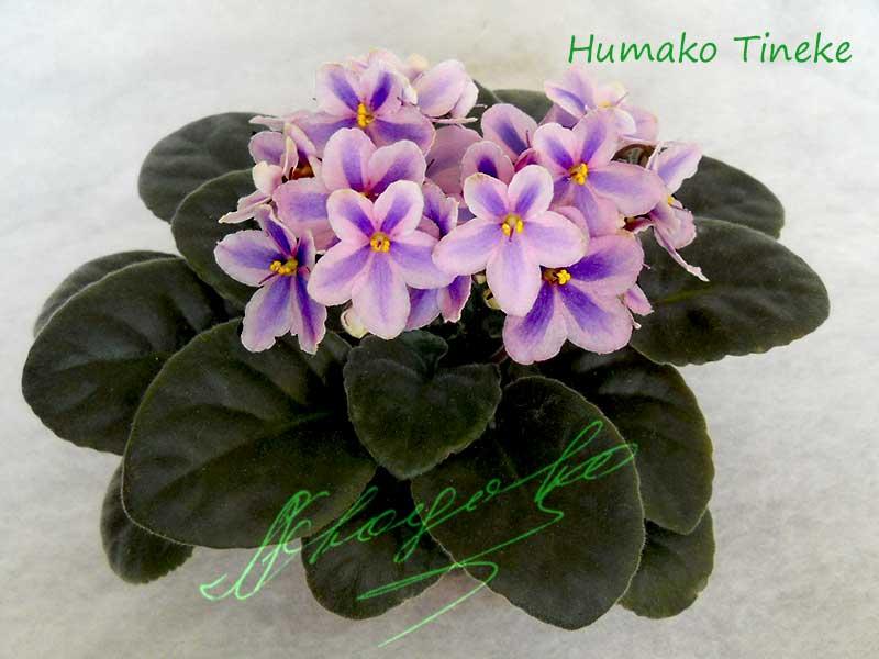 Humako Tineke