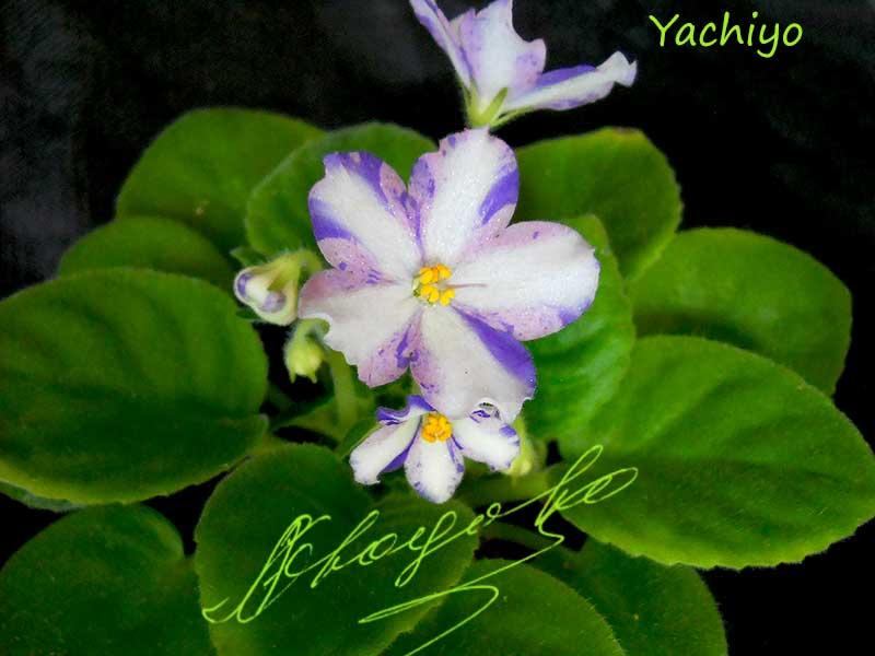 Yachiyo (Tabata)