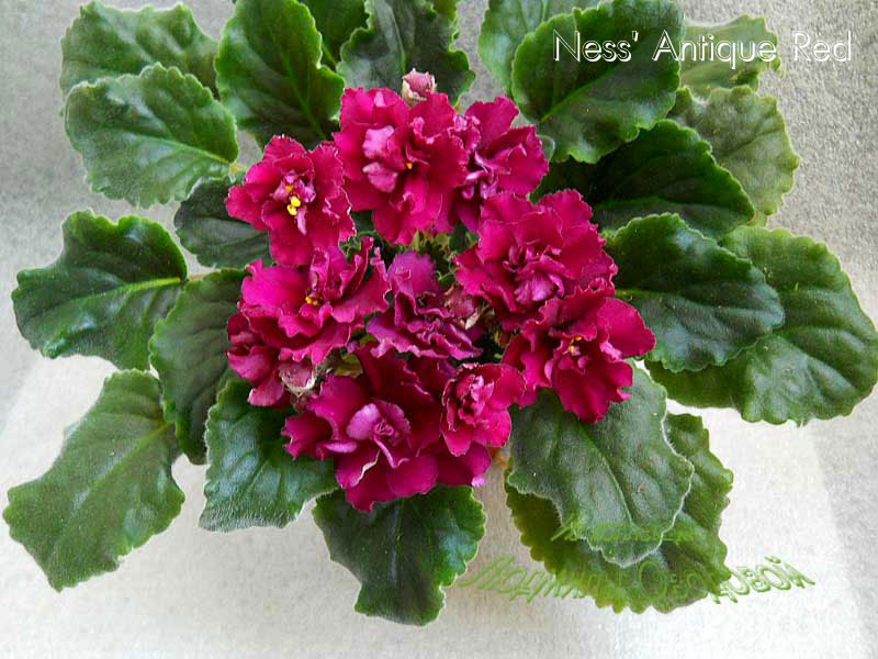 Ness' Antique Red (D.Ness)