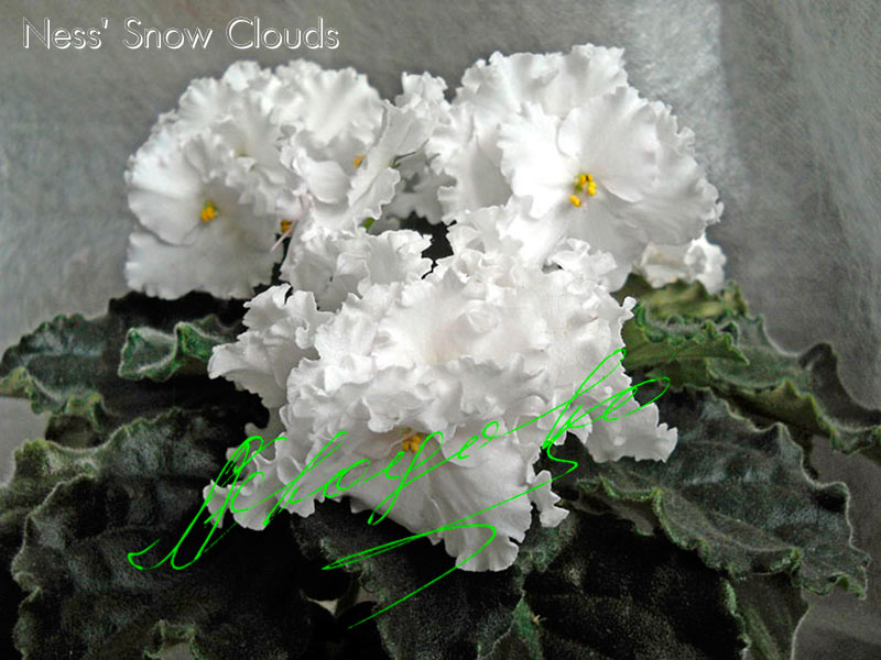 Ness' Snow Clouds (D.Ness)