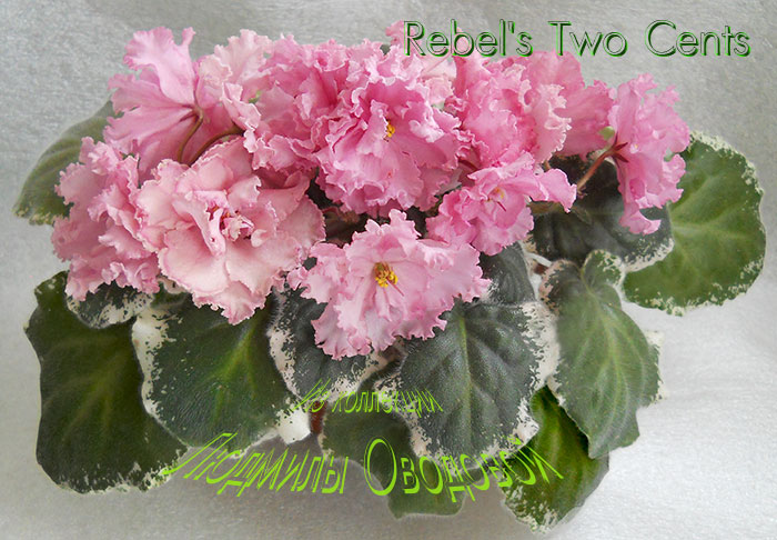 Rebel's Two Cents (R. Bann)
