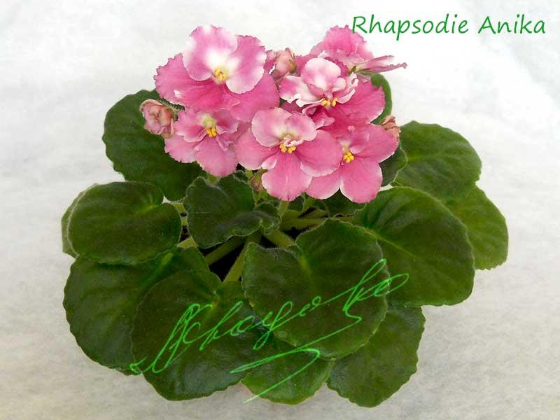 Rhapsodie Anika (R.Holtkamp)