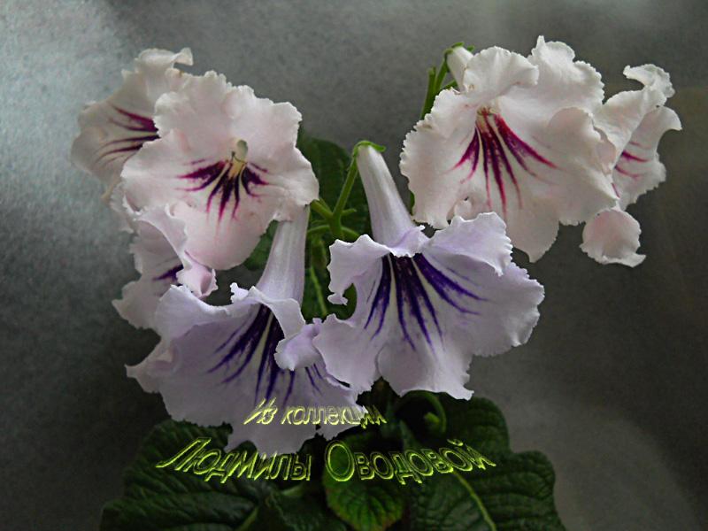 DS-Персиковый Сад