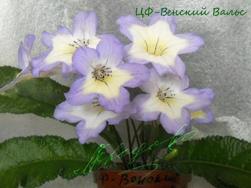 ЦФ-Венский Вальс